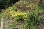 Japanese knotweed following control