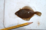 Flounder from mouth of the Stinchar