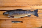 Trout adult and fry