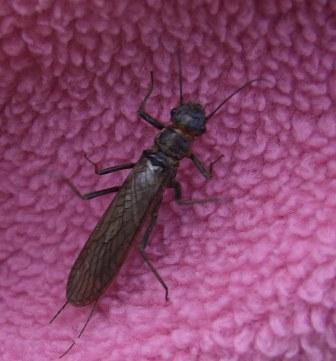 Adult stonefly