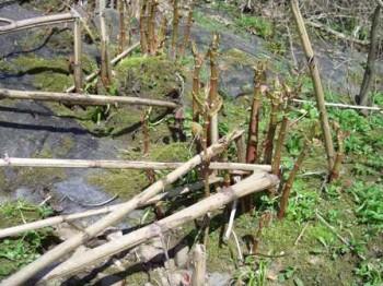 Japanese knotweed spikes