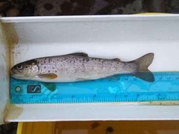 Sea trout smolt