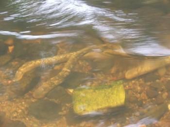 Sea lampreys spawning