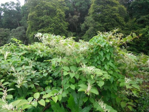 Japanese Knotweed in flower