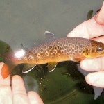 Brown trout 1 white fins
