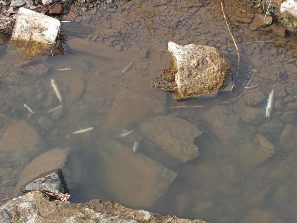 Ayrshire Rivers Trust Fish Kill In Darvel