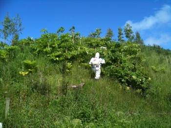 Giant Hogweed Control - Doon catchment, Springwater Fishery