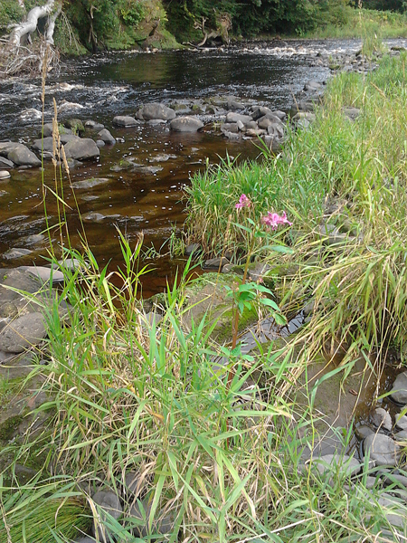A solitary Himalayan Balsam plant at Mauchline.