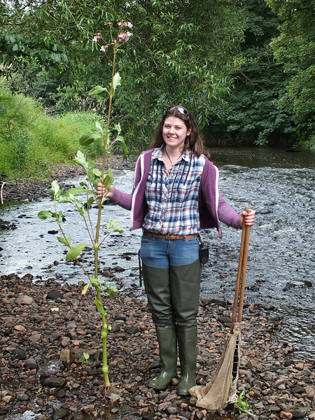 """Helen holding a tall Himalayan Balsam plant pulled at Cairnhill today. Helen is about 5'9"""" tall so this plant easily exceeds 6'. It was clearly visible above native bankside vegetation. Keep a look out and take a minute to pull any you see."""