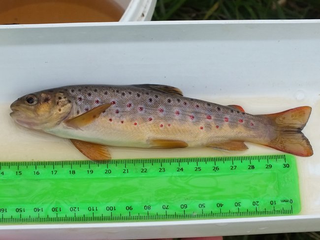 A nicer looking wee fish typical of the ones we find on the Burnock