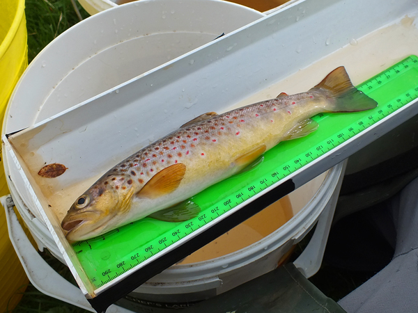 One of two very nice trout from below the bridge