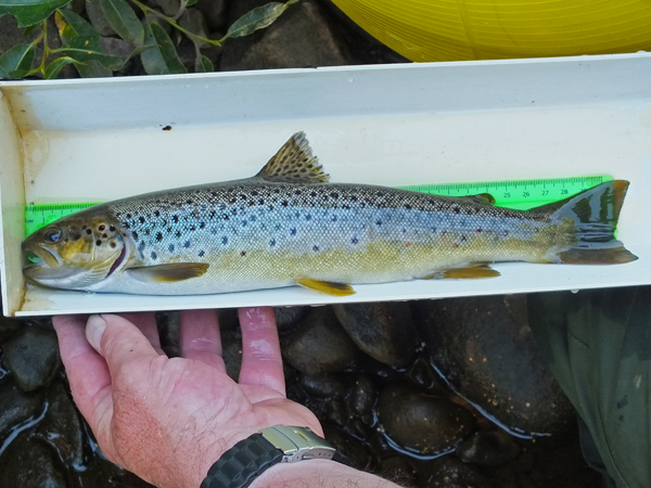 A cracker of a trout from the Glenmuir and as wild as can be.