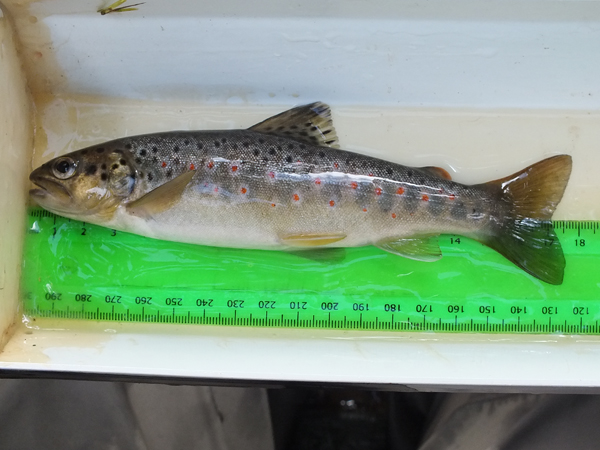 A stunning wee trout from the Skelmorlie Water
