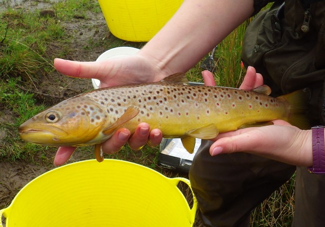 A lovely big trout from a tiny wee burn. It came from below a very undercut banking.