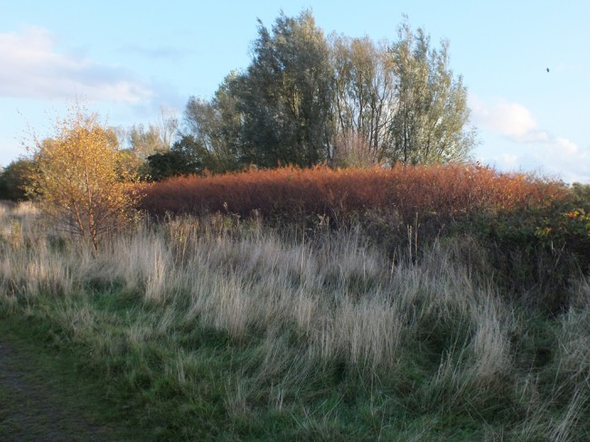 Just one of the large Knotweed stands in Marchburn, near the Airport