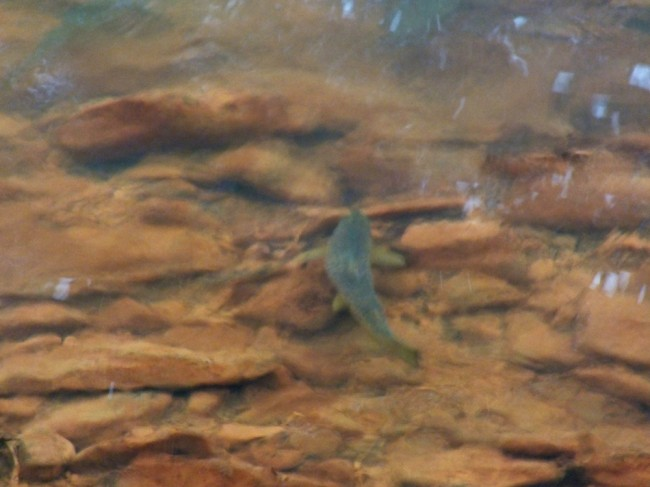 About 1lb in weight and looking for a place to spawn. There was another trout with it just upstream
