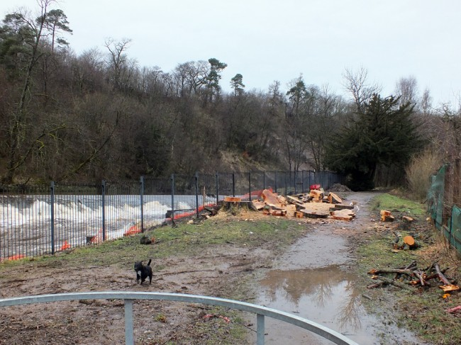The large tree beside the fish pass fence has been felled.