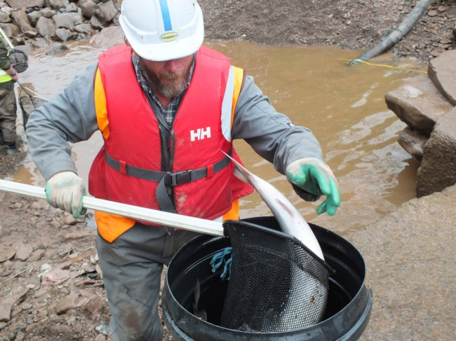 The site agent even managed to get in on the fishing and net his first ever salmon! I'm sure he will remember this day for the rest of his life. He and his men muscled in and helped us move bucket after bucket load of fish to safety and we can't thank them enough. They have shown great concern for the fish.