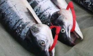 Carcass Tags attached to salmon. One train of thought is that these may be required to be purchased before killing any salmon in future. It is just one of several suggestions but who knows what the final outcome may be or how this could be policed?