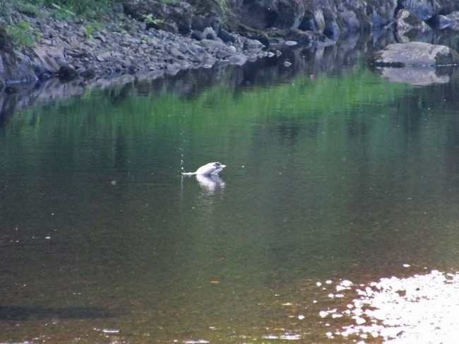 We saw about 6 herons in around a mile of water when at the Stinchar. They have been having a feast.