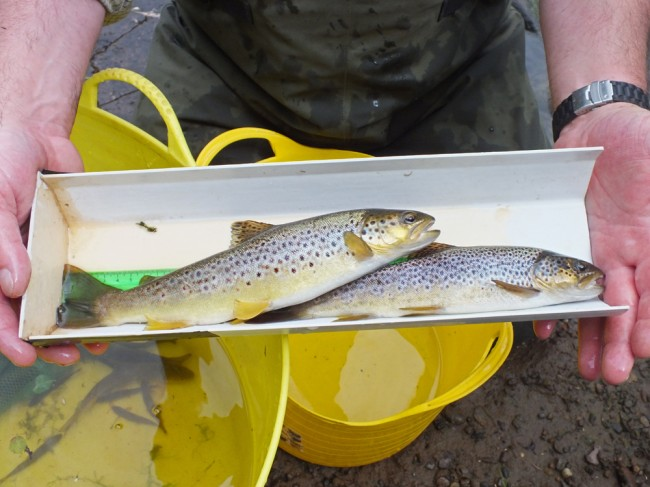 Two nice trout from the run and riffle below Stair Dam