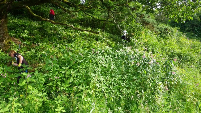 balsam bashing with volunteers at Colmonell in 2013