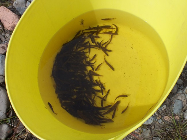 A mass of fry in the bottom of the bucket. A great way to start the day.