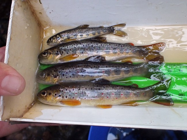 3 nice trout parr and a salmon fry from the first site of the day