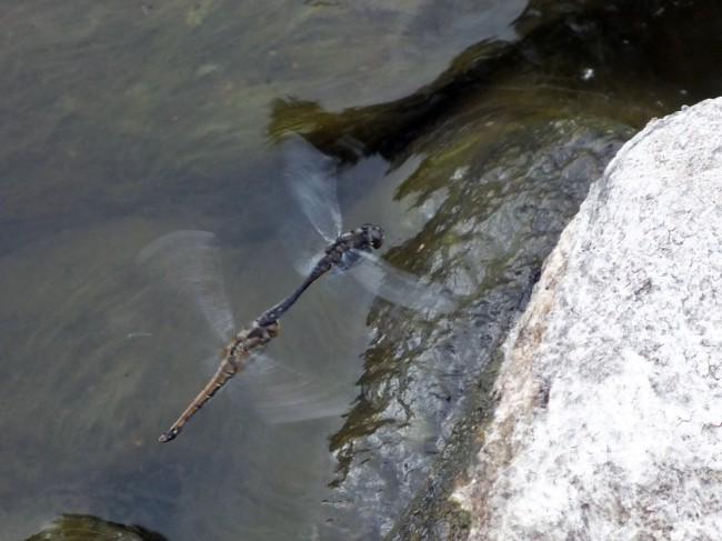 There were a lot of dragonflies mating and laying eggs on the wet edges of the rocks.