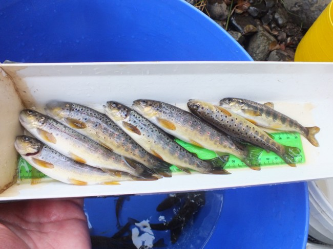 Just some of the trout (and a salmon) from the deeper hole I fished briefly.