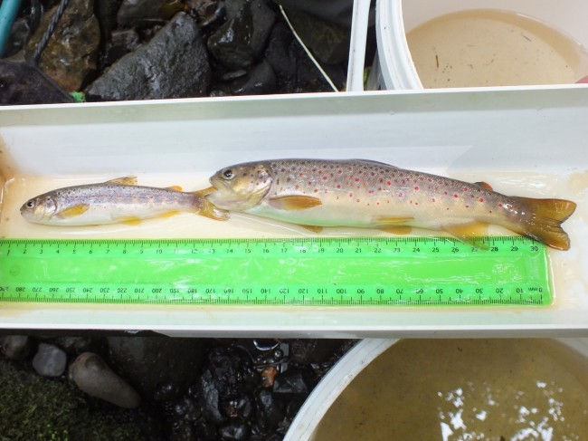 Two lovely trout from the Paduff