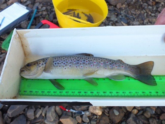 The best trout from the upper Ponesk this morning