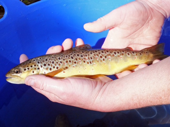John holding the larger trout captured at Lawers Bridge. Stunning colours and markings