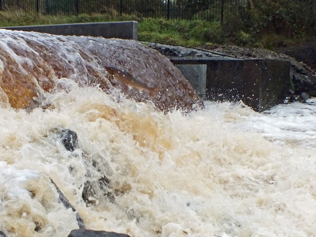 Another salmon failing to find the fish pass.