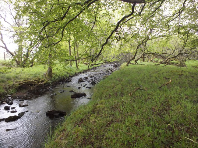 This fenced woodland is of much more value to the fish and water quality than unfenced and grazed areas.