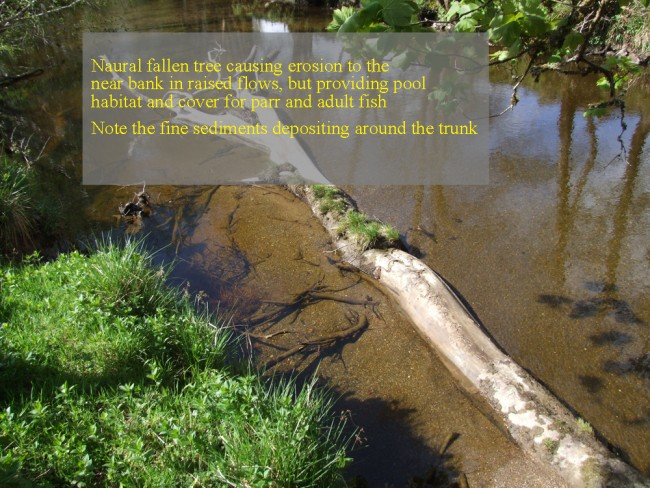 This tree arrived there naturally and has caused about 20m of deep pool habitat to form on the near bank but it is also causing erosion on the near bank that the landowner may wish to avoid. It is important to monitor each situation carefully