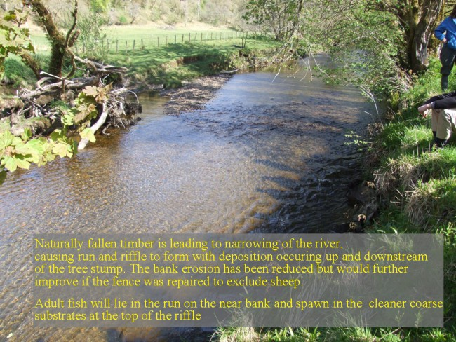 Narrowing of the river due to a fallen tree that is restoring the value of the habitat for fish and invertebrates