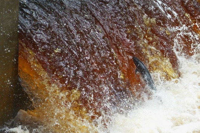 Salmon make it over Anderson's easily with many now not showing but swimming up the weir unseen.