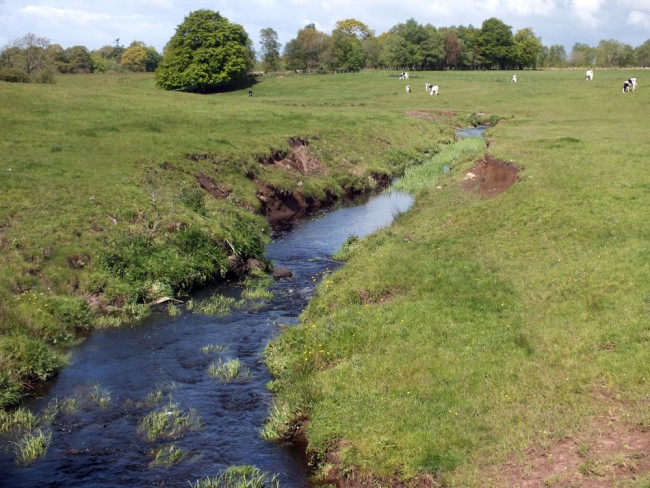 Compare this image taken 50m downstream of Whirr Bridge. Cattle graze the margins and access the burn causing erosion, siltation and faecal pollution. Overall this situation is typical of why the trout and salmon populations across Ayrshire declined as agriculture intensified. Stock fencing would go a long way to improve this situation.