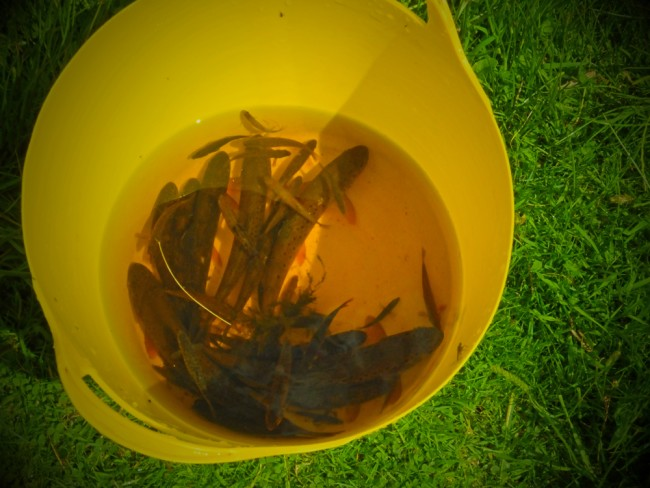 A bucket full of fish from the Fenwick Water. It is great to see such a healthy trout population that has never been interfered with. These fish have survived there with any stocking since the end of the last ice age.