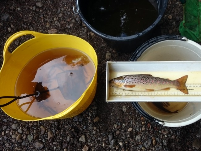 A plump trout that came from a bit of undercut bank. The only adult fish we found came from the few similar places of refuge.