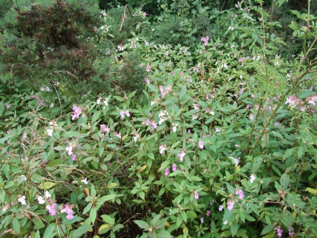 Himalayan balsam occupies sites where Japanese knotweed once dominated. This was not unexpected.