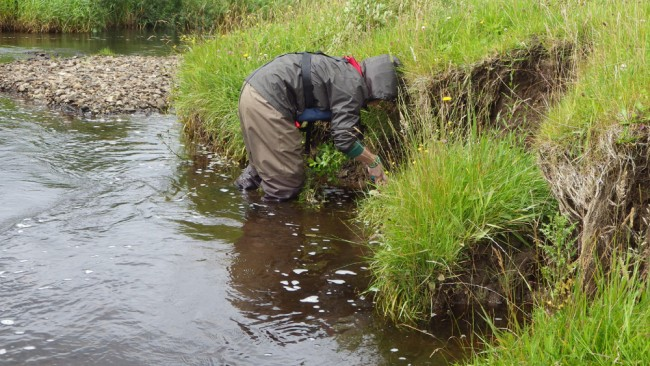 Katie planting willows at the Kames site. Salmon numbers were better than expected but could be improved.
