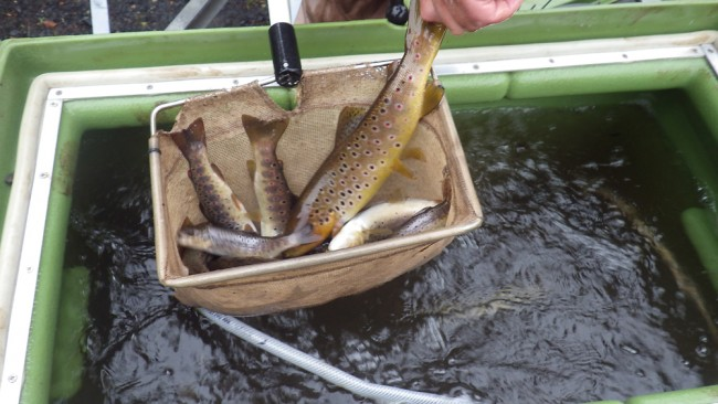 A final health check and count revealed approximately 1200 wild trout were caught and safely relocated to Kilbirnie Loch.
