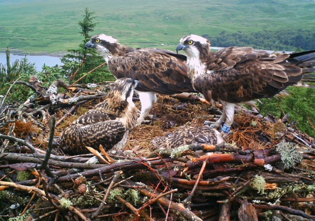 Just one of 5000+ images Brian has of the Ospreys on the nest this year. The image may not be reproduced without permission.