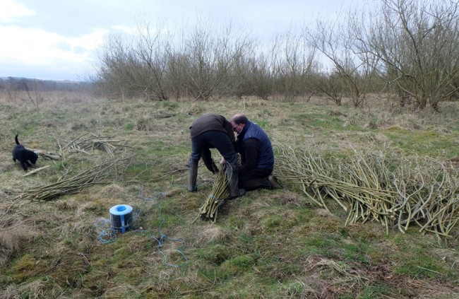 Trying the cut willow into faggots for transport.