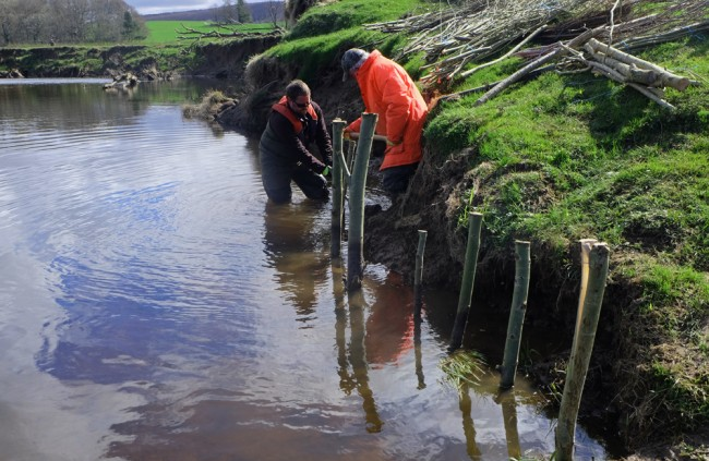 Making a good start by driving the willow stakes into the river bed