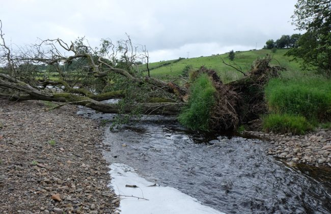 When this tree fell over winter, it brought with it a fair chunk of bank. This need removed quickly to prevent further problems occurring.
