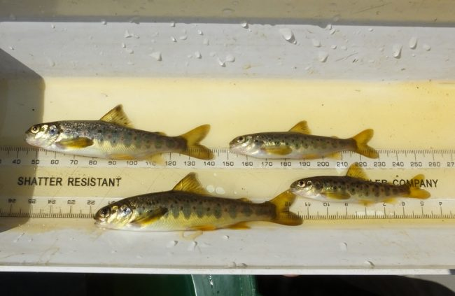 Some of  the fry we captured during a survey on the lower burn