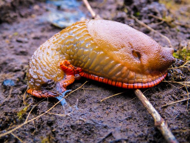 A colourful slug with a vivid orange foot fringe.